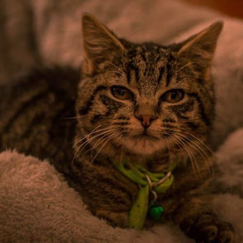 Mack - Domestic Short Hair Cat