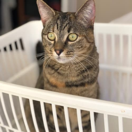 Keva  (Located in St Kilda east) - Domestic Short Hair Cat