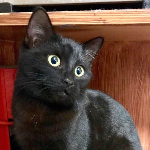 Siren - Domestic Short Hair Cat
