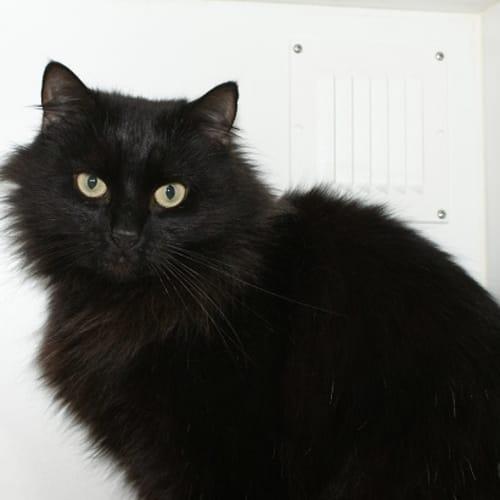 Isobel sta002818 - Domestic Short Hair Cat