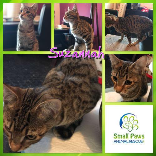 Suzannah - Domestic Short Hair Cat