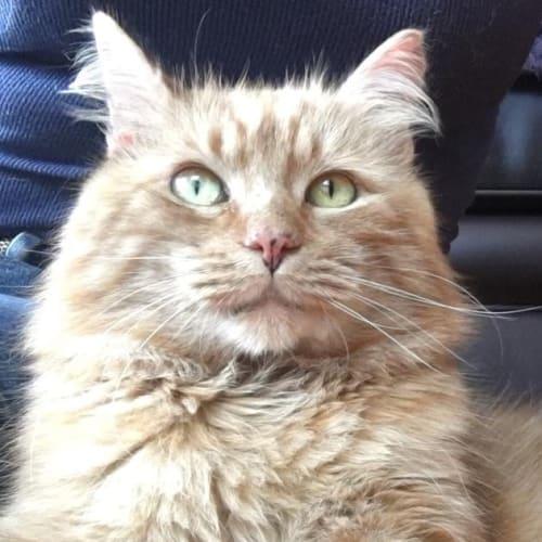 Paddington  - Domestic Long Hair Cat