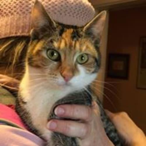 Alera - Domestic Short Hair Cat