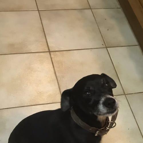 Mutley (8.6kg)  - Cross breed x Fox Terrier Dog