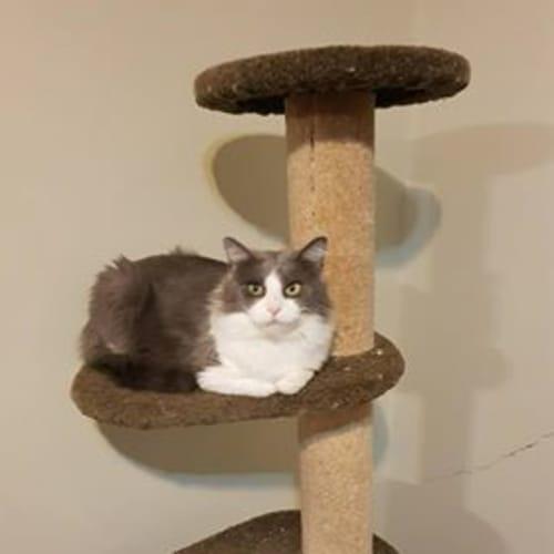 Tyto - Domestic Medium Hair Cat