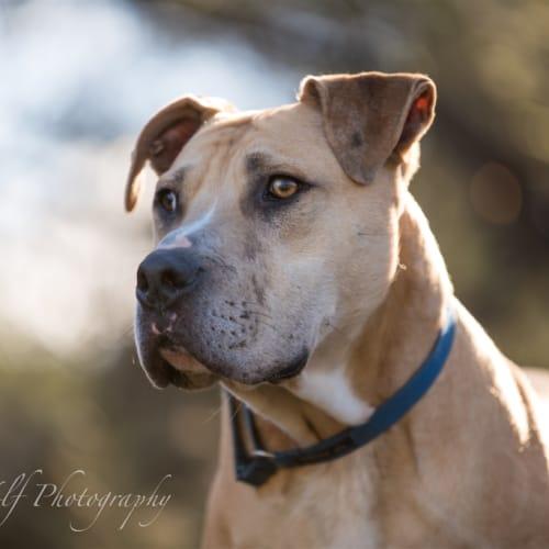 Neiko - American Bulldog x Bullmastiff Dog