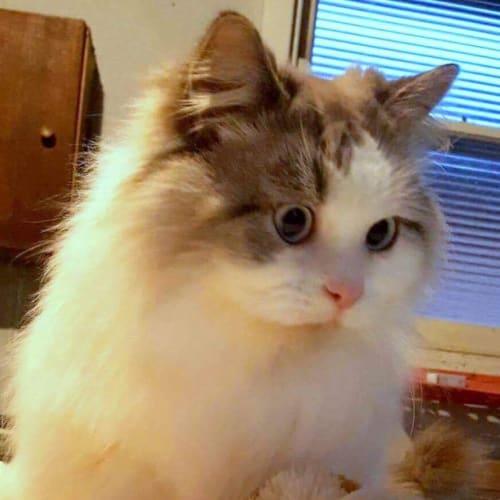 Sorbet - Domestic Long Hair Cat