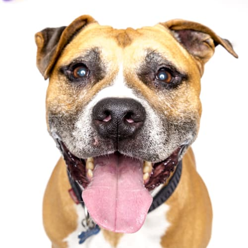 Gus and Ella - Foster or Adopt! - American Staffordshire Bull Terrier Dog
