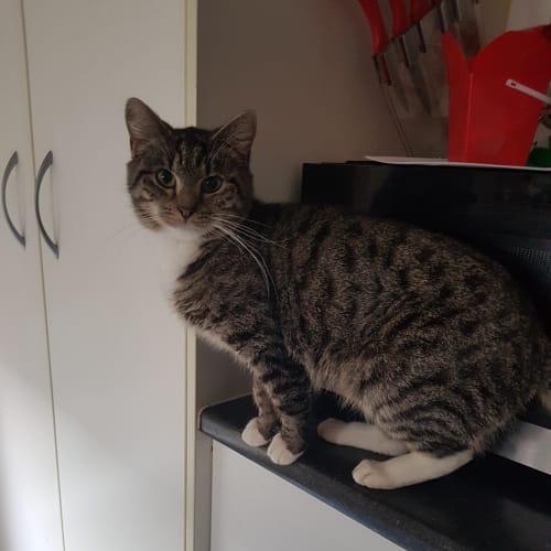 Trinity ~Rainbow Cat Rescue~ - Domestic Short Hair Cat