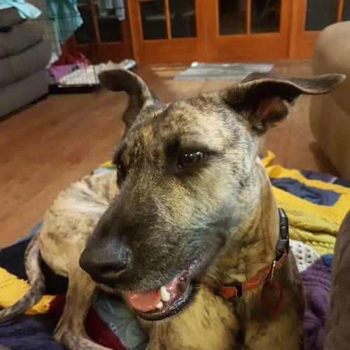 Roxy - Whippet x Wolfhound Dog