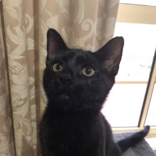 Licorice  - Domestic Short Hair Cat