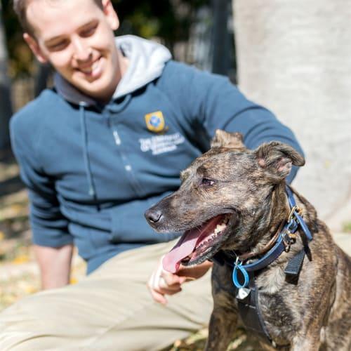 Gidget - English Staffordshire Bull Terrier Dog