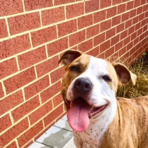 Dixie DL1521 - American Staffordshire Terrier Dog