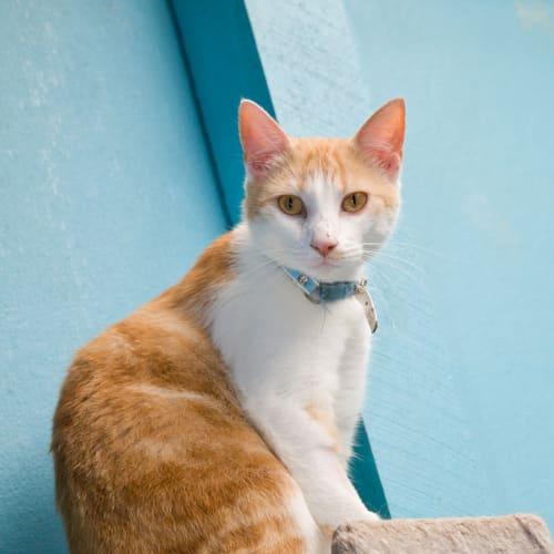Carson - Oriental Cat