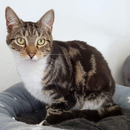 Lette - Domestic Short Hair Cat