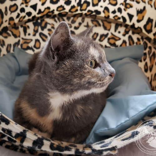 Nasreen - Domestic Short Hair Cat