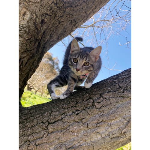 Livvie - Domestic Short Hair Cat