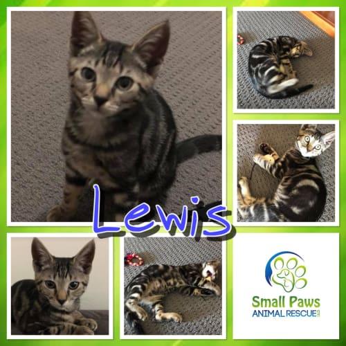 Lewis - Domestic Short Hair Cat