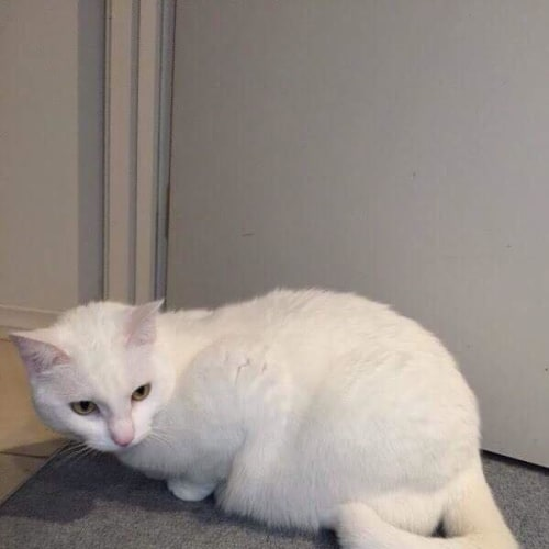 Sashy - Domestic Short Hair Cat
