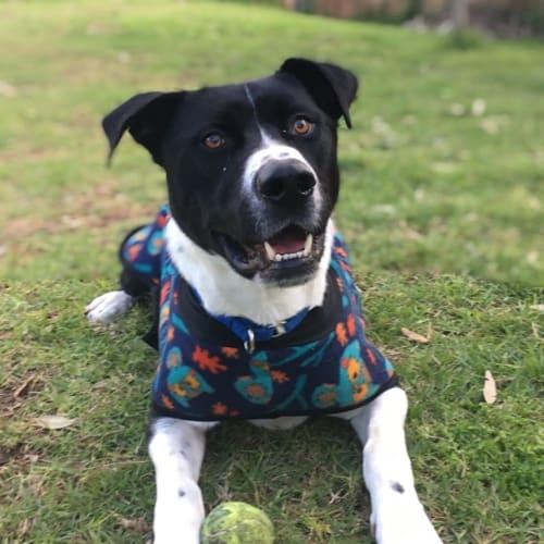 Kasey - Large Mixed Breed Dog