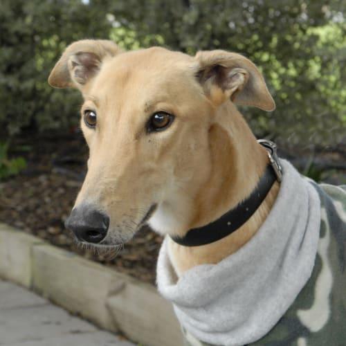 Hugo (aka Soule) - ID 36748 - Greyhound Dog