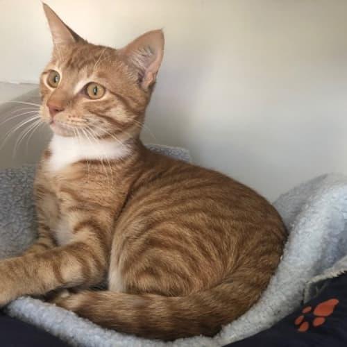 Soloman sta002851 - Domestic Short Hair Cat