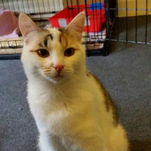 Angel - Meet me at Neko HQ in Preston - Domestic Short Hair Cat