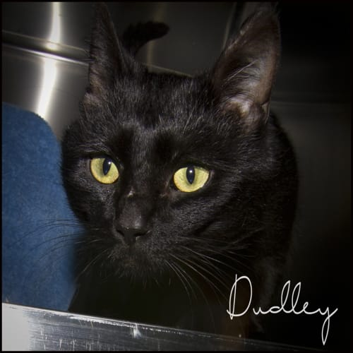 Dudley - Domestic Short Hair Cat