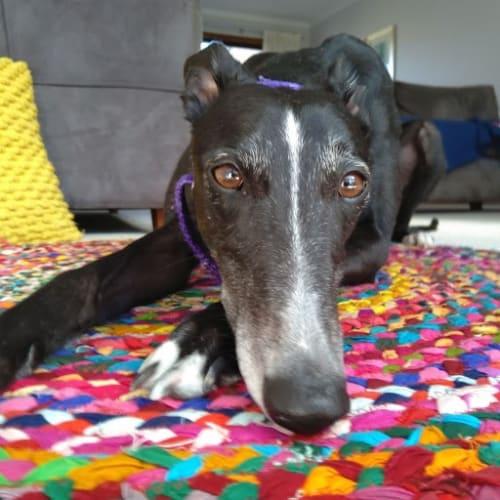 Sandy - Greyhound Dog