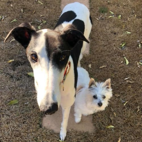 Morgan - Greyhound Dog