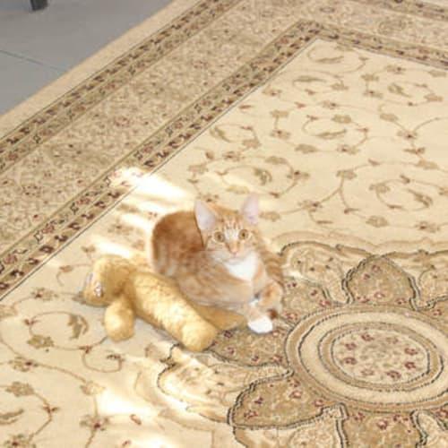 Jarvis - Domestic Short Hair Cat