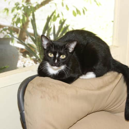 Cinders - Domestic Short Hair Cat
