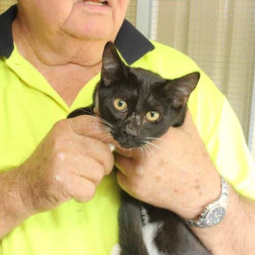 Indigo - Domestic Short Hair Cat