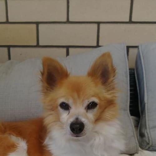 Sparky - Chihuahua Dog