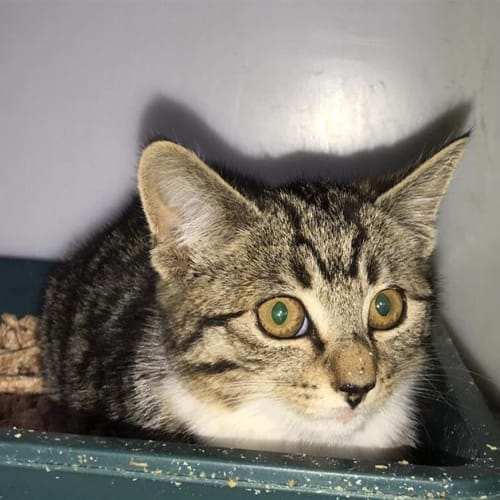 Shiloh - Domestic Short Hair Cat