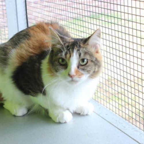 Meggs - Domestic Short Hair Cat
