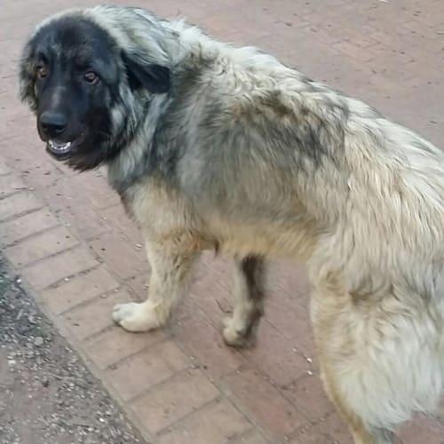 Jack - Sarplaninac Dog