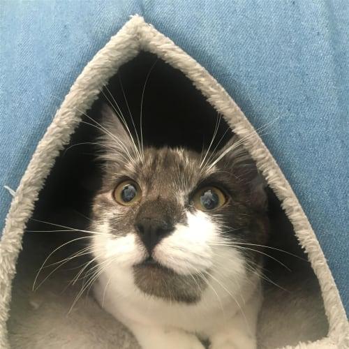 Apollo - Domestic Short Hair Cat
