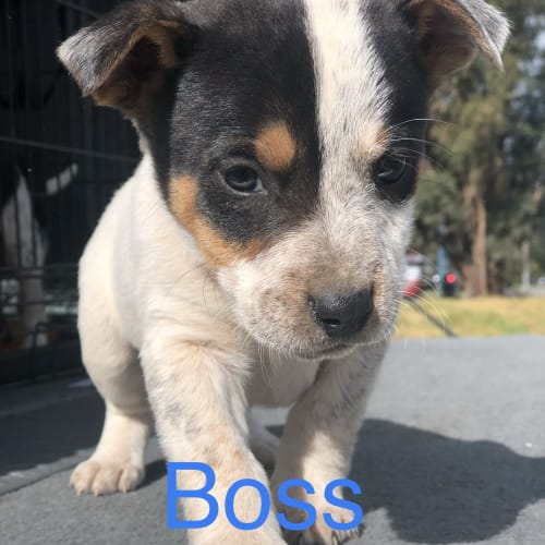 Boss - Blue Heeler x Whippet Dog
