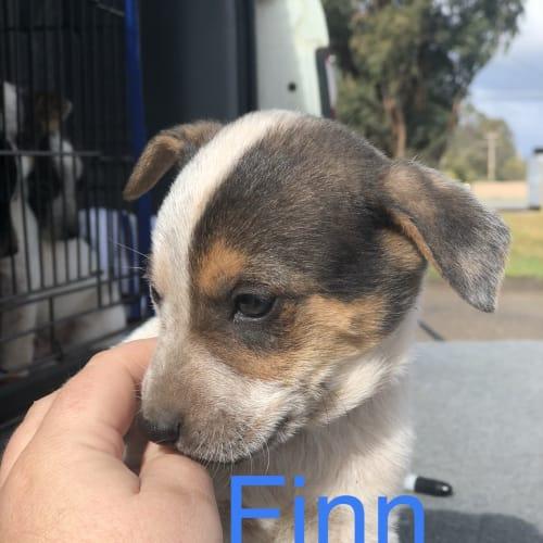 Finn - Blue Heeler x Whippet Dog
