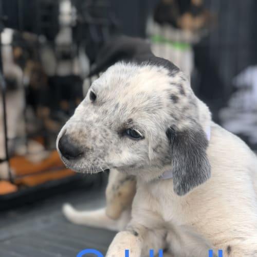 Oddball - Blue Heeler x Whippet Dog