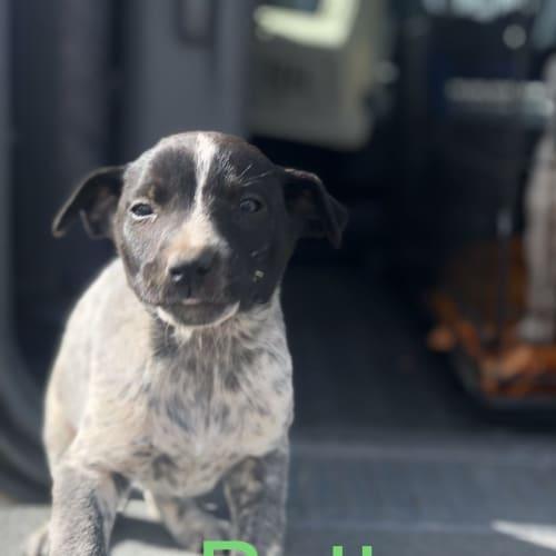 Betty - Blue Heeler x Whippet Dog