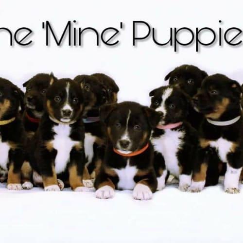 Mine litter  - Border Collie x Dingo x Siberian Husky Dog