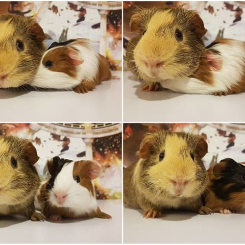 Hamish and Andy -  Guinea Pig