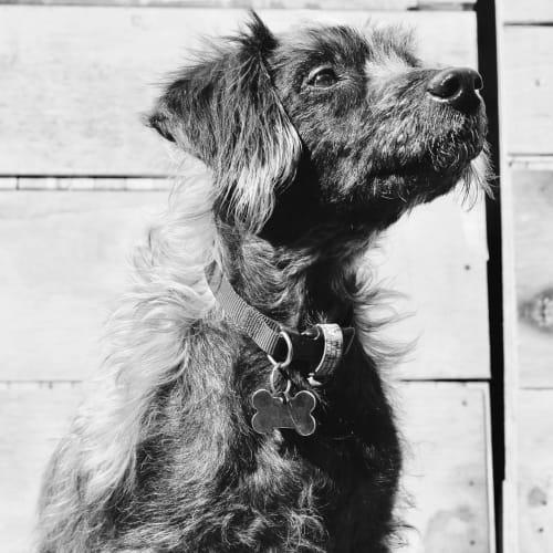 Oscar - Australian terrier x Poodle Dog