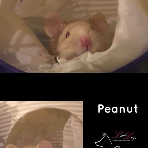Peanut -  Mouse