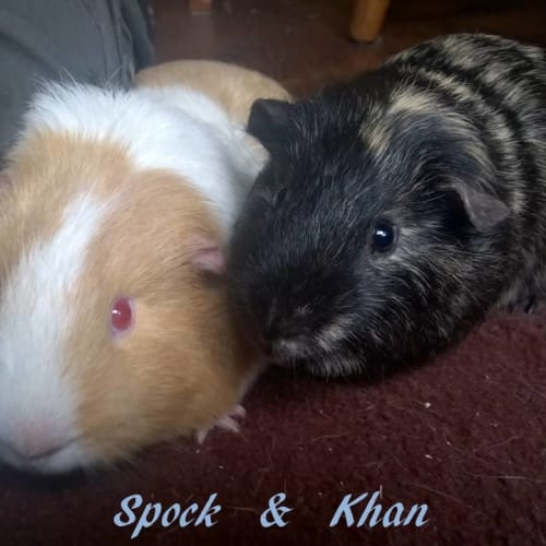 Spock and Khan - Guinea Pig