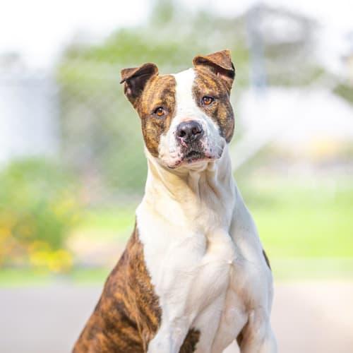 Pcc 379 - George  - Staffy Dog