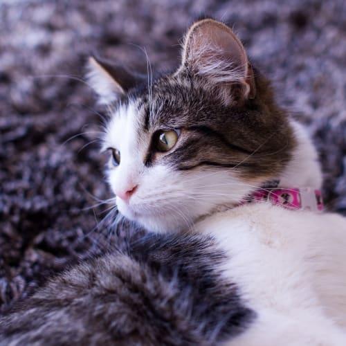 Duchess - Domestic Long Hair Cat