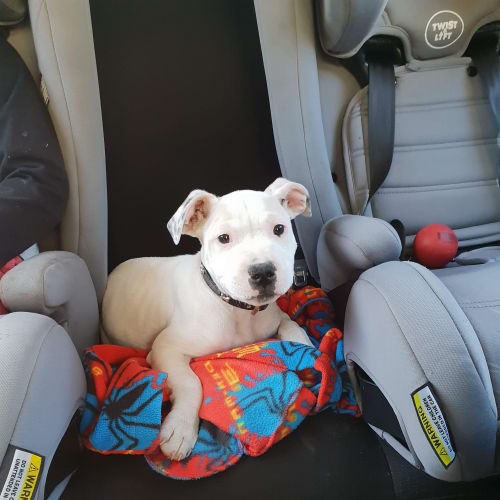 Buddy - American Bulldog x Staffy Dog
